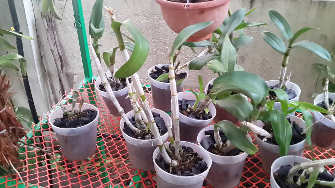 How to Propagate from Cane Cuttings foto