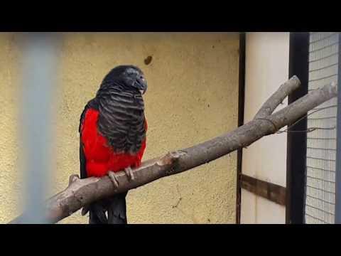 Орлиный попугай Pesquet's parrot