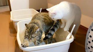 砂かけが下手な後輩猫にやり方を教える先輩猫!