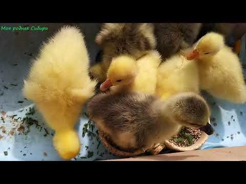 Проверяю яйца под курицей. Наши маленькие гусятки. Сынок гоняет Фомку. Матильда вышла погулять.
