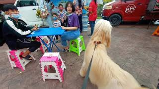 Going places with an Afghan Hound dog