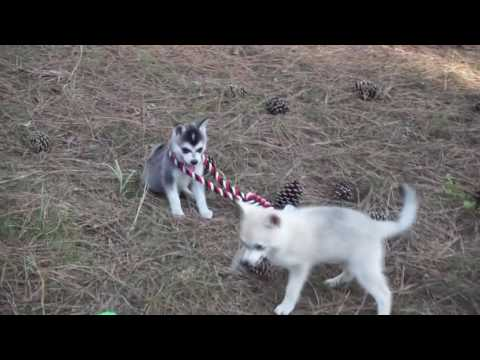 Lele, Alaskan Klee Kai Puppy For Sale - Husky Palace