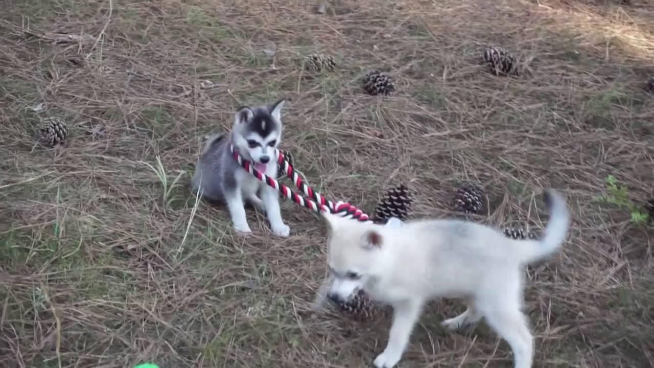 Lele Alaskan Klee Kai Puppy For Sale Husky Palace Youtube