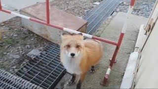 Забавные лисы - Новые приколы и фейлы за октябрь 2017