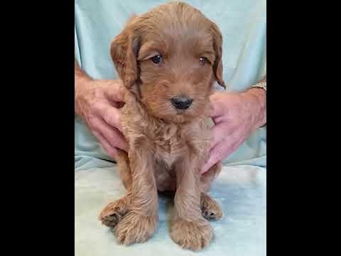 PuppyFinder.com : Chili's Puppies- Bindy - 4 Weeks