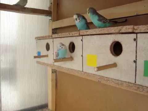 Papugi faliste w wolierze zewn?trznej.