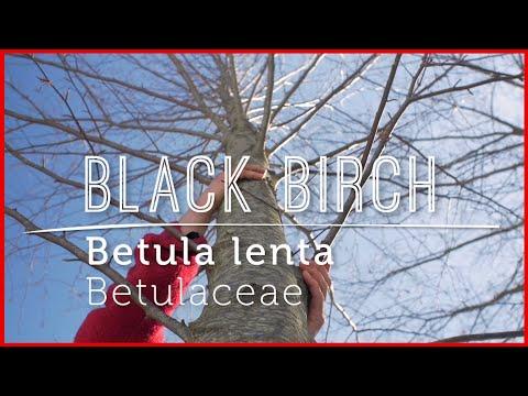 Meet BLACK BIRCH: Wild Tasty Herbal Remedy (Video Lesson)