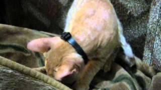 кот Башик (помесь сфинкса + двор-кошки)