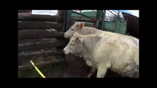 Chargement de la bétaillère