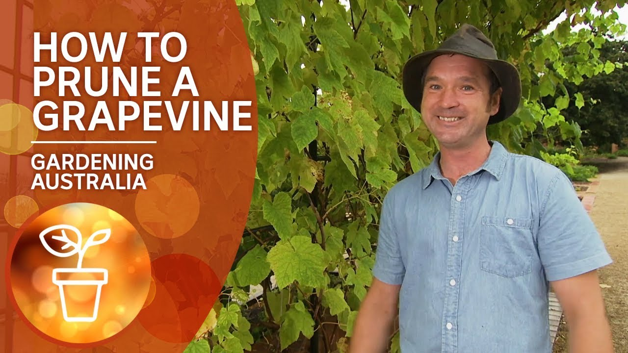 How To Prune A Grapevine Youtube