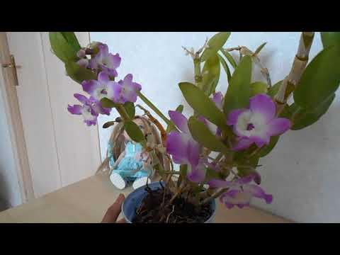 Дендробиум Нобиле (Dendrobium Nobile): уход в домашних условиях