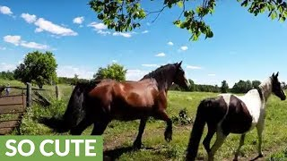 Drone captures majestic Clydesdales running with herd