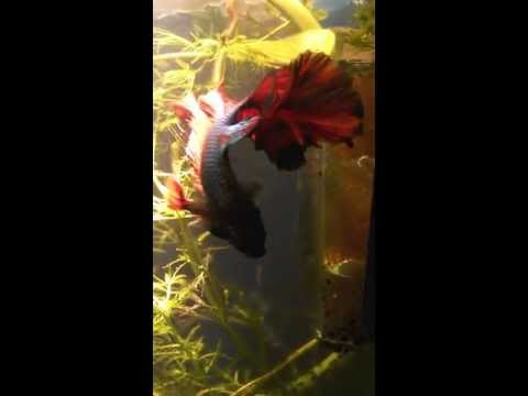 Betta with splits in dorsal fin. Causes or treatment?
