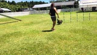 Jax Cairn Terrier Agility Nadac Passion Round 1 Clean Run Novice Standard