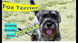 Fox Terrier | Amazing Animals | Pet Dogs