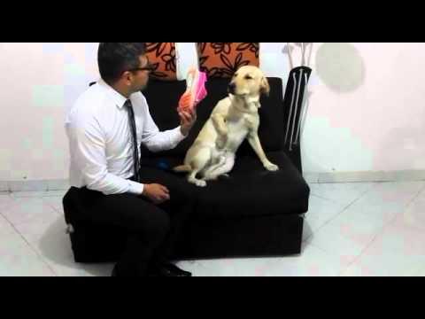 Labrador, regañado por sus travesuras