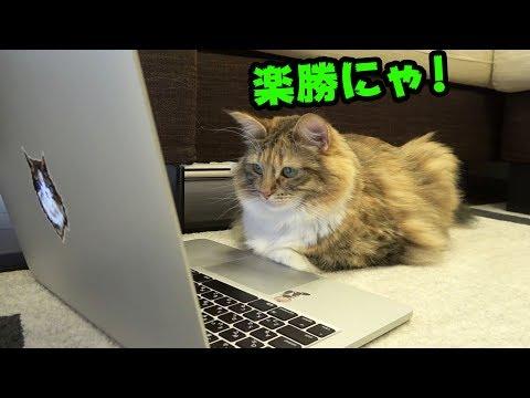 ちゃちゃ、猫検定やるってよ