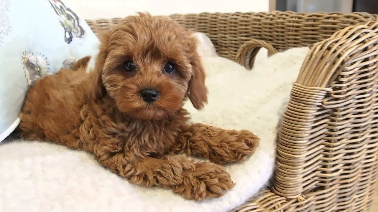 Strawberry S Little Cavoodle Girl Pocket Puppies Australia S