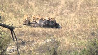 Six Female Lions Killing A Buffalo In The Serengeti (not for sensitive viewers) [HD]