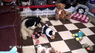 Little Rascals Uk Breeders New Litter Of Shih Tzu Pups - Puppies For Sale 2016