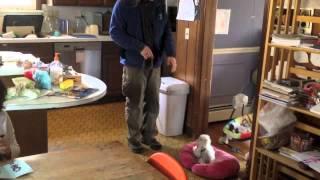 Cute Maltese 13 Week Old Training -solid K9 Training