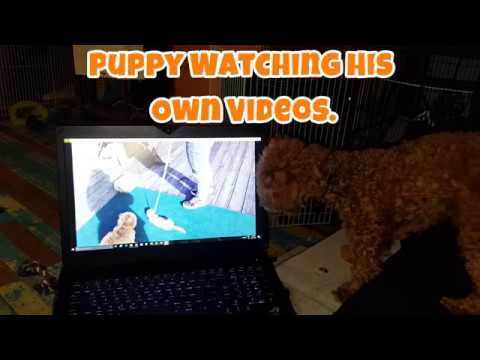 Puppy Watches His Own Videos - Just Gin 2: Cutest Dog Ever! VOL. 31