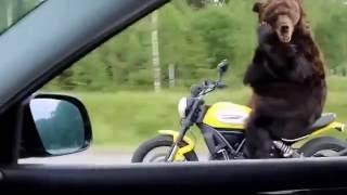Медведь!на.трассев.России!