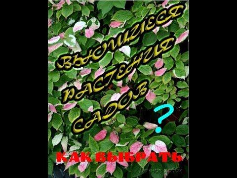 Растение черемуха (фото) – лечебные и полезные свойства