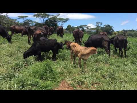 Angus Cattle for the tropics Philippine Angus