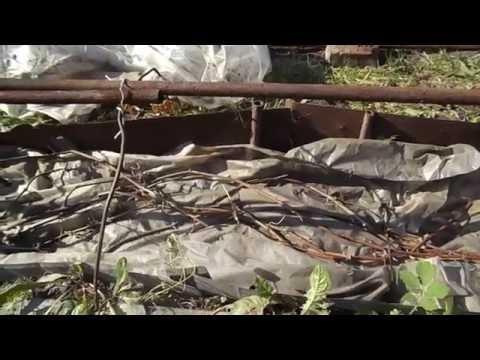 Как укрыть виноград на зиму в Сибири.