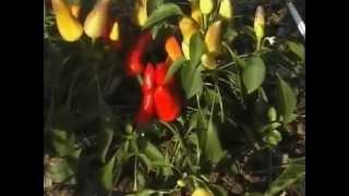 Настоящий хозяин. Уход за комнатными растениями. Выращивание азалии. Семена и выбираем сорт перца.(Видео с уникальными советами для садоводов и фермеров от издательского дома журнала