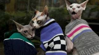 Порода кошек Сфинкс. Почему стоит завести сфинкса.
