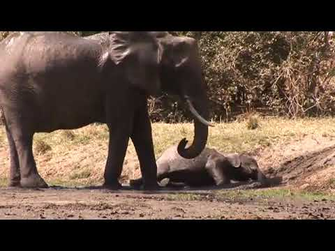 Elephant Baby Wallowing