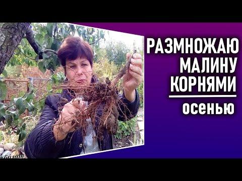 Размножение малины корневыми черенками.  Как быстро размножить малину