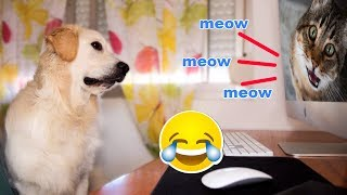 Funny Dog Reaction to Cats and Kittens Meowing - Cute Bailey