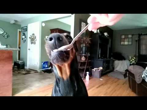 Doberman Pinscher FOOD What to feed your Dog