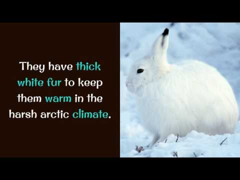 12 Interesting Things You May Not Know About Arctic Hare