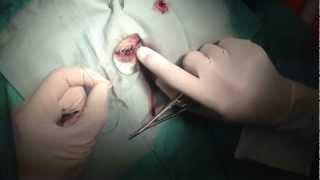 Cherry Eye Surgery On Bulldog