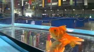 Georgia Koi & Goldfish Show 2012