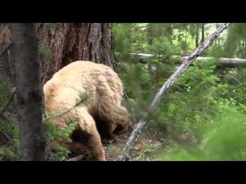 Cinnamon Black Bear in the Woods - Yellowstone