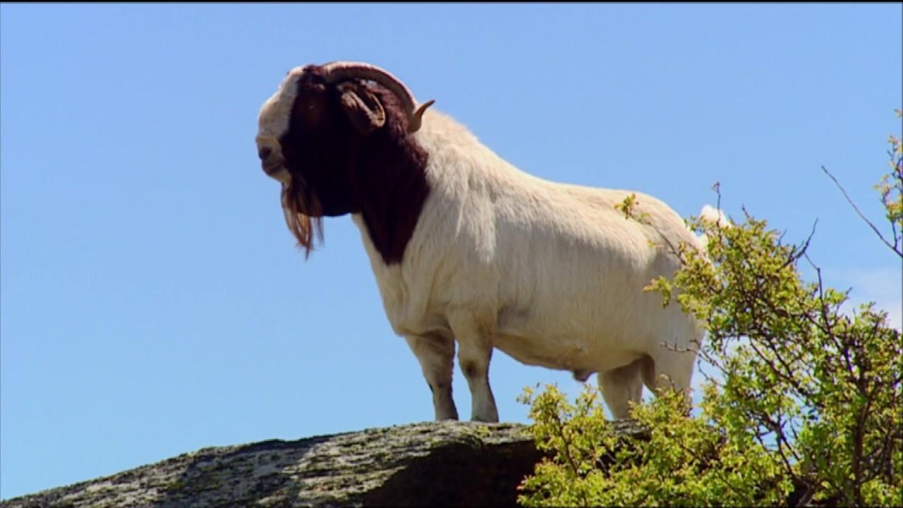Boer Goat Farming - YouTube - photo#25