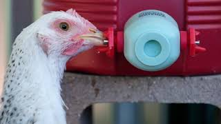 BriteTap Model 2 Chicken Waterer