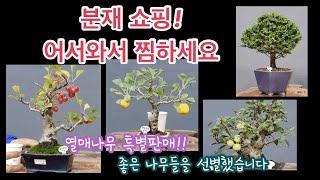 분재 열매나무 특별판매/분재쇼핑