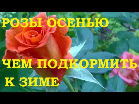 Розы осенью. Чем подкормить к зиме.