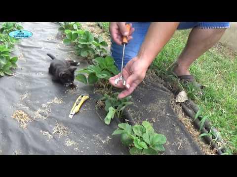 Видео как сажать клубнику под агроволокно