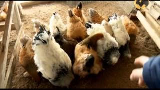 видео Продажа живой домашней птицы