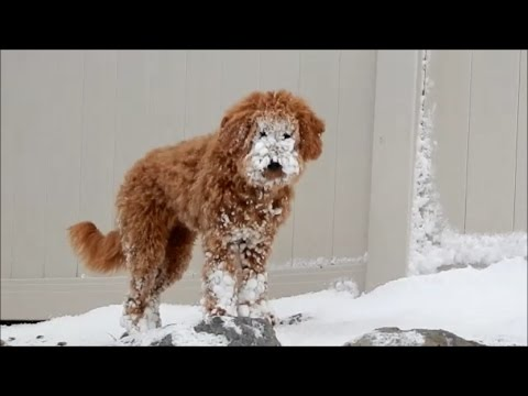 Goldendoodle Discovering Snow 1st Time!!! 2016