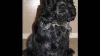 Cocker Spaniel Stud Dog Glasgow Scotland