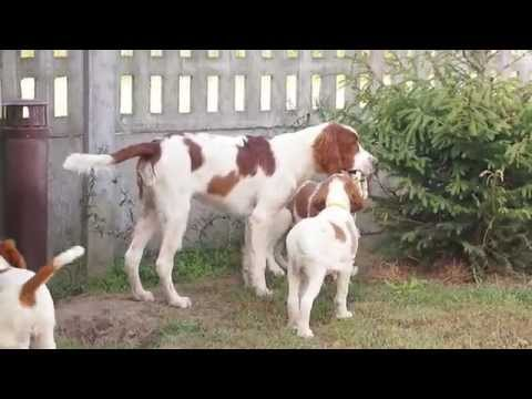 Shadow Dog - Irish Red and White Setter & Gordon Setter
