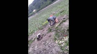 Pomeranian Digging Oregon Clams With Dad